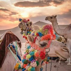 Without any background on what is going on here (are these beautifully adorned camels dressed only to be overworked for the sake of tourism?), I'll pin with caution. Alpacas, Animals And Pets, Cute Animals, Thinking Day, Vacation Deals, Hd Picture, Adventure Is Out There, Animal Kingdom, Mammals
