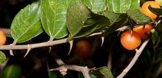 Tala trepador- Celtis iguanaea