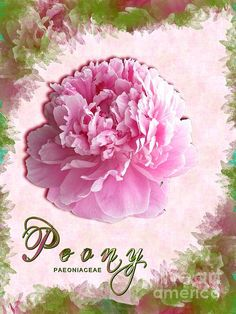 'Perfectly Pink Peony' Fine Art Photography/Digital Art by Margaret Newcomb Photography of a beautiful perfectly pink peony front and center, digitally created petal background and text. #peony #pink #art #MargaretNewcomb Visit my Fine Art Store to purchase Prints: http://margaret-newcomb.artistwebsites.com/art/all/all/framed+prints