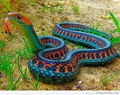 California Red Sided Garter Snake,  He is one beautifully colored snake.  WOW!