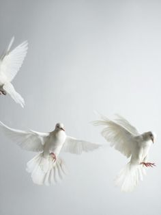 white doves flying ...........click here to find out more http://googydog.com