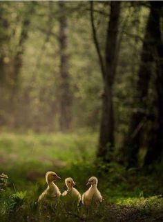 Country Living ~ ducklings