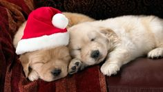 Santa's Helpers after a busy day at the North Pole ❤️ #GoldenRetrievers