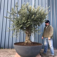 A selection of various types and form of Hardy Olive Trees we grow at Villaggio Verde, if you don't see what you are looking for, contact us today. Buy Olive Tree, Tree Specialist, Green Nature, Trees, Pottery, Deco, Space, Medium, Garden