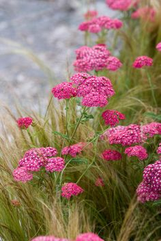 If you are looking for abundant blooms in shades of magenta for weeks of summer color, Achillea millefolium 'Cerise Queen' is what you need. This eye-catching Yarrow features masses of long-lasting clusters of bright cherry-pink flowers with white cen Yarrow Flower, Flowers Perennials, Beautiful Pink Flowers, Plants, Yarrow Plant, Achillea, Pink Flowers, Beautiful Flowers, Flowers