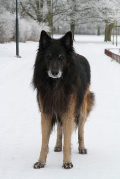 belgian tervuren - This animal looks like it knows the answer to every question in the universe