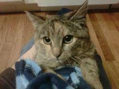 Adopt a Homeless Cat | Little Turtle CP | Tabby Torbie | Furrever Friends Rescue & Volunteers, Inc.