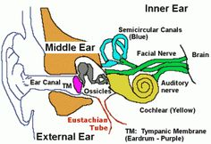 Pr google pinterest cardiology how important ear diagram labeled is ear is one the five senses the function of ear is very useful and important to our life ccuart Images