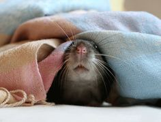This reminds me of my rat Joanne :)