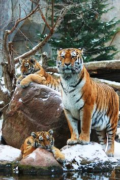 Amazing wildlife - Tiger with cubs photo Nature Animals, Animals And Pets, Baby Animals, Cute Animals, Wild Animals, Serval, Beautiful Cats, Animals Beautiful, Big Cats