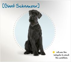 """Did you know the term """"Giant"""" Schnauzer is a bit of a misnomer, as they are not really a giant breed? Standing at about two feet tall at the shoulder, they are a large dog, but the """"Giant"""" terminology was used simply to help distinguish them from their """"Miniature"""" and """"Standard"""" cousins."""