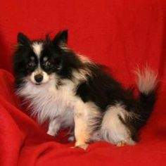 Morus is an adoptable Pomeranian Dog in Auburn, NE. This tiny little man with the gorgeous markings has been acting pretty pathetic since his rescue from a puppy mill in Kansas. He was there too long....