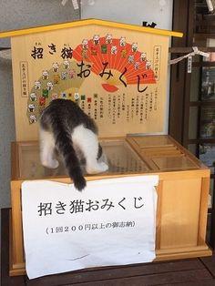 これが本当の招き猫 猫が招かれていて「招き猫おみくじ」が引けない事案が発生