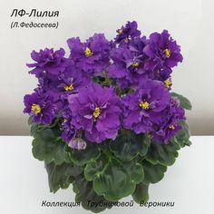 LF-Lillia • L. Fedoseeva • Standard, 2020, Russia • Semidouble-double fuchsia ruffled pansy. Medium green, scalloped, girl foliage. Standard #LFLillia #FedoseevaViolets #girlleaves #RussianViolet#AVSA #AfricanVioletSocietyOfAmerica #AfricanViolet #IndoorPlant #Houseplant #saintpaulia #senpolia #AfricanVioletLovers #flowers #bloom #blooms #fialki #fialka #flowerpower Easy House Plants, Saintpaulia, Pansies, Houseplants, Indoor Plants, Flower Power, Bloom, African, Leaves