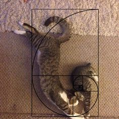 Cats are perfect! Ever heard of the Fibonacci sequence aka the Golden Ratio? Funny Cat Names, Funny Cat Photos, Funny Cats And Dogs, Funny Cats Youtube, Golden Ratio In Design, Happy Birthday Funny Cats, C Is For Cat, Photography Rules, Cat Fails