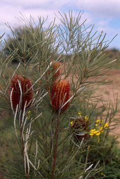 Biological Name: Banksia occidentalis Common Name: Red Swamp Banksia Beautiful australian native screening tree