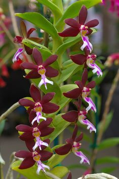 Trichoglottis brachiata or The Bracteate Trichoglottis. An epiphytic species is from the Philippines at elevations of sea-level to 300 meters.