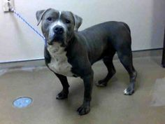 NIPSY - ID#A754901  My name is NIPSY.  I am a male, gray Pit Bull Terrier.  The shelter staff think I am about 1 year and 1 month old.  I ha...
