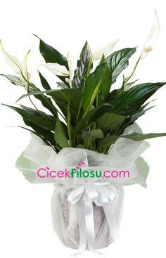 Spatifilyum Çiçeği Bakımı, Yetiştirilmesi, budanması, sulanması, toprak, vitamin, ışık, ve rüzgar faktörlerine karşı direnci hakkında bilgiler