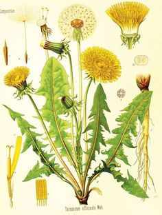 http://fashionpin1.blogspot.com - Discovering the amazing (uses of the) Dandelion. The loathed weed and cure-all of the lawn.