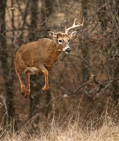 Why Do Bucks Lose Their Antlers? The Science Behind Sheds | Outdoor Life