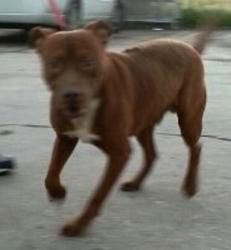 Lasso #31416 is an adoptable Pit Bull Terrier Dog in Baton Rouge, LA. This fella has been on the E list twice and I have pulled him back to life. he is super cute and fun. He is getting depressed and ...
