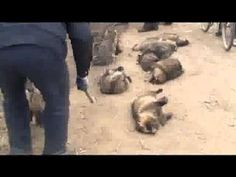 Animals are skinned alive in Chinese Fur Farms Do not buy fur!!!!