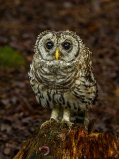 Barred Owlet | by Bill McMullen