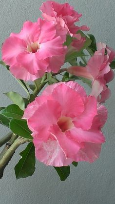 Sweet pink n blooming gorgeously.......