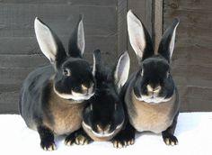 Such handsome bunnies! - Black Otter Rex Rabbit