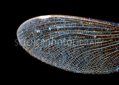 Dragonfly Wings   Dragonfly wing - Stock Image Z300/0045 - enlarged - Science Photo ...