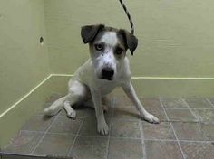 SAFE --- URGENT - Brooklyn Center    PEPITA - A0991931   FEMALE, WHITE / BROWN, BORDER COLLIE MIX, 1 yr  OWNER SUR - EVALUATE, NO HOLD Reason LLORDPRIVA   Intake condition NONE Intake Date 02/18/2014, From NY 11377, DueOut Date 02/18/2014 https://www.facebook.com/Urgentdeathrowdogs/photos_stream