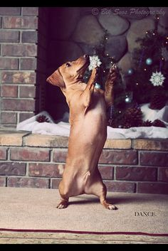 dancing doxie #cute #dachshund