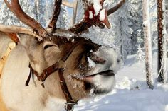 Reindeer. . . they play games. Disturbing games. . .