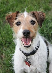 Jack is an adoptable Jack Russell Terrier (Parson Russell Terrier) Dog in Winnipeg, MB. Sex: male  Approx.  Age: 8 years old Breed : JRT  Meet Jack! Jack is a very feisty 8 year old  JRT who loves oth...