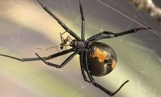 Researchers at the University of Toronto found that male redback spiders often seek out young and 'immature' females, that may not yet have learned to eat their partner.