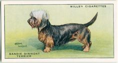Dogs Dandie Dinmont Terrier, Dog Artwork, Collector Cards, New York Public Library, Old Postcards, Book Of Shadows, Gods Love, Ephemera, Art Drawings
