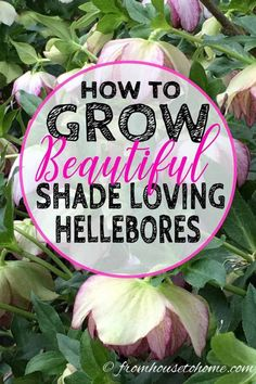 These tips for growing Hellebores are the BEST! I need some ground cover plants for my shade garden in the front yard and these low maintenance shade perennials will be perfect. Perennial Ground Cover, Ground Cover Plants, Gardening For Beginners, Gardening Tips, Organic Gardening, Gardening Services, Indoor Gardening, Flowers Perennials, Planting Flowers
