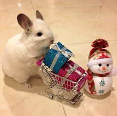 WITH A CART. | This Is The Most Important Chinchilla On Instagram Right Now