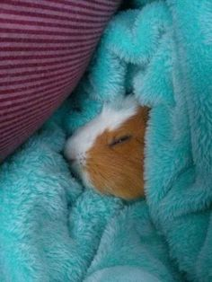 This lil' one who knows the importance of a good nap. Buzzfeed cutest Guinea pigs ever