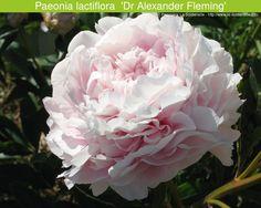 Paeonia lactiflora 'Dr Alexander Fleming' (Pépinière La Soldanelle)