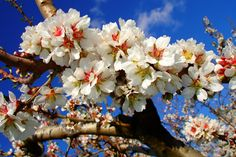 Восхитительные цветущие деревья, которыми невозможно налюбоваться - Путешествуем вместе