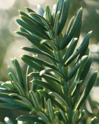 Yewtopia Plum Yew—the South's answer to English Yews! With a slightly upright, vase-like growth habit, this plum yew is heat tolerant, drought resistant, and shade loving. Use Yewtopia® where low growing hedges are needed. FEATURES Evergreen or DeciduousEvergreen USDA Zones6,7,8,9 Zone DetailHardy to -10 F heat tolerance, drought tolerance, water-wise, deer resistant Part sun to Shade 3-4' H x 3-4' W Moderate to slow growth