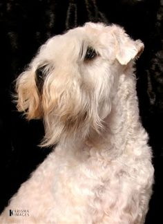 Soft coated wheaton terrier photo | Soft Coated Wheaten Terrier Gallery