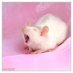 Lorich 6 - Fancy rat by DianePhotos