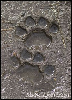 Cougar Front & Hind Tracks In Mud