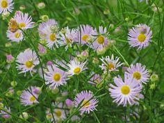 Boltonia 'Pink Beauty' False Aster  -An Obsessive Neurotic Gardener