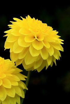 Yellow Dahlia on black background