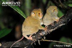 Tarsius bancanus (nártoun západosundský - mládě s matkou, Tarsiidae)