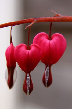 Bleeding Hearts.. I had a bush of these flowers when I was young<3 If you break them open at the bottom a really pretty heart will be formed in the stems inside!